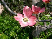 ハナミズキ移植工事後の開花